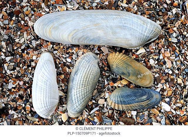Pholadidae on beach showing Common piddock (Pholas dactylus), American piddock (Petricola pholadiformis) and White piddock (Barnea candida) shells