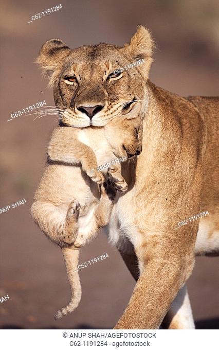 Lioness (Panthera leo) carrying her cub aged 2-3 months, Maasai Mara National Reserve, Kenya