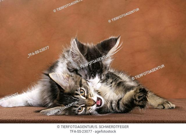 2 playing Maine Coon Kitten