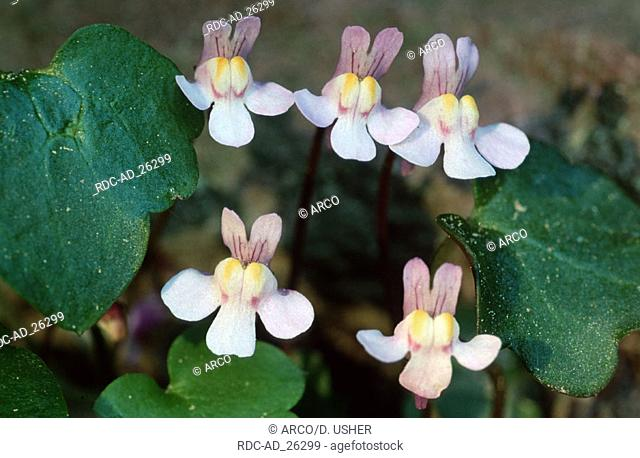 Ivy-leaved Toadflax Lower Saxony Germany Cymbalaria muralis