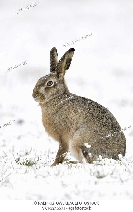Brown Hare / European Hare / Feldhase ( Lepus europaeus ) in winter, sitting in snow, snowfall, looks cute, side view, wildlife, Europe