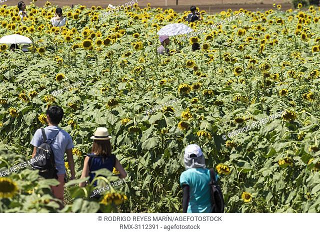August 27, 2018, Tokyo, Japan - Visitors walk through a large maze of sunflowers growing in a field during the 'Kiyose sunflower festival' in Tokyo