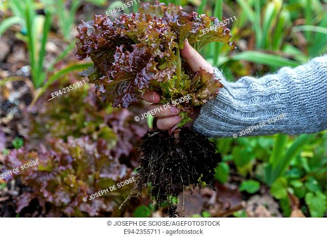 Partial view of a woman holding a lettuce plant in a garden