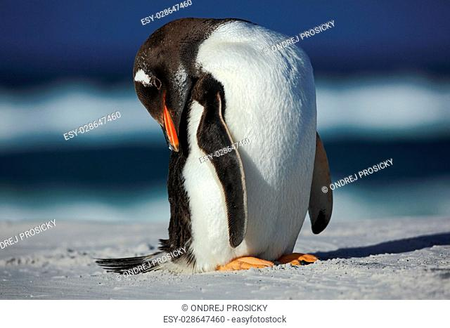 Gentoo penguin, Pygoscelis papua , cleaning plumage on the white