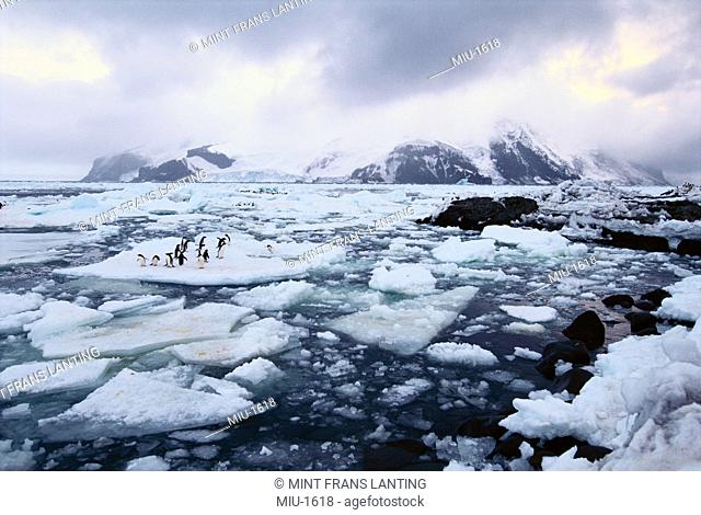 Adelie penguins on sea ice, Pygoscelis adeliae, South Sandwich Islands, Antarctica