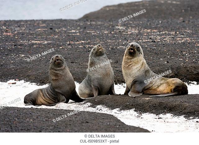 Three antarctic fur seals (Arctocephalus gazella), Deception Island, Antarctica