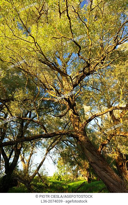Old willow trees. Poland