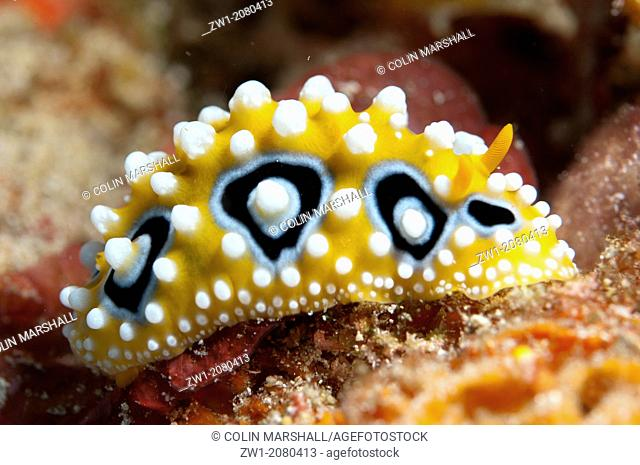 Ocellate Phyllidia Nudibranch (Phyllidia ocellata) near Alor in Indonesia
