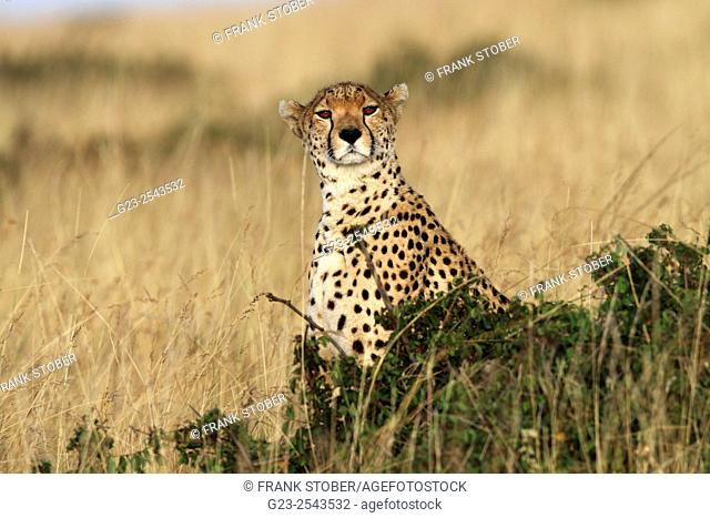 Kenya, Maasai Mara, Cheetah (acinonyx jubatus) looking at camera