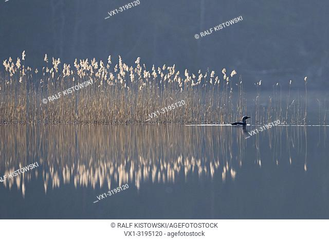 Black-throated Loon / Arctic Loon (Gavia arctica), swimming in front of a reed belt, on a hazy morning somewhere in Sweden.