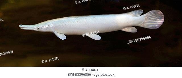 Alligator gar (Atractosteus spatula), albino, USA, Florida