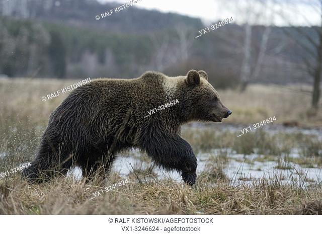 European Brown Bear / Europaeischer Braunbaer ( Ursus arctos ) young cub, walking through open grassland, frozen marshland