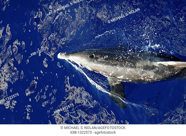 Adult rough-toothed dolphin Steno bredanensis bow riding the National Geographic Endeavour near Ascension Island  South Atlantic Ocean