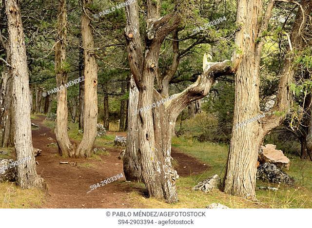 Savins (Juniperus sp.) in Natural monument of La Fuentona, Muriel de la Fuente, Soria, Spain