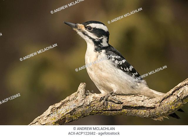 Hairy Woodpecker (Picoides villosus) in winter near Thornton, Ontario, Canada
