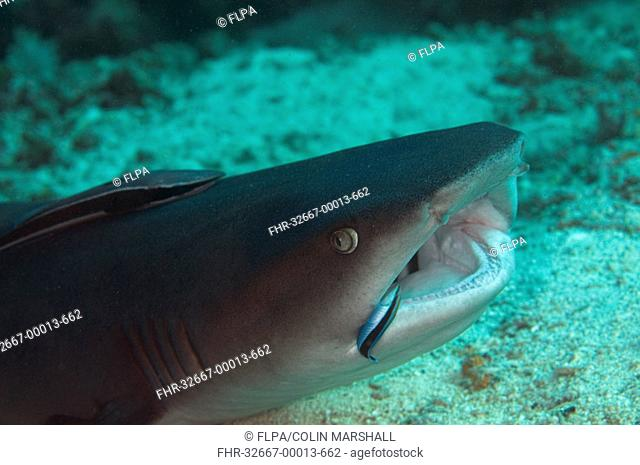 Whitetip Reef Shark Triaenodon obesus adult, close-up of head, with Sharksucker Echeneis naucrates attached and Bluestreak Cleaner Wrasse Labroides dimidiatus...