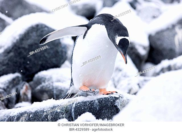Gentoo Penguin (Pygoscelis papua) between ice and rock, Antarctic Peninsula, Antarctica