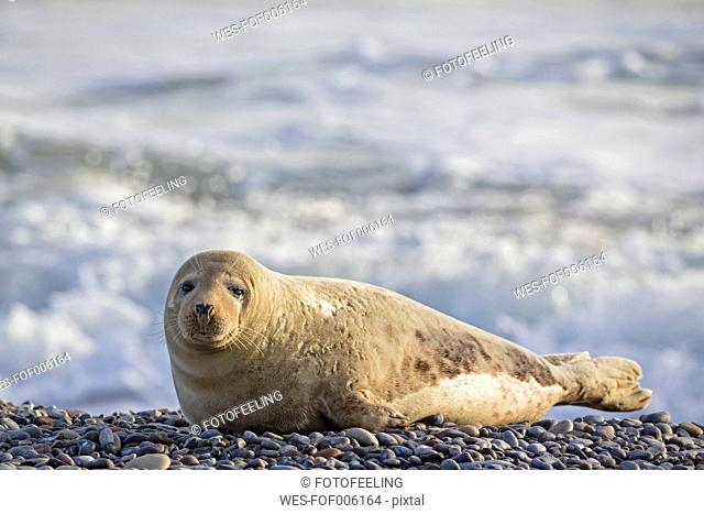 Germany, Helgoland, Duene Island, Grey seal (Halichoerus grypus) at beach