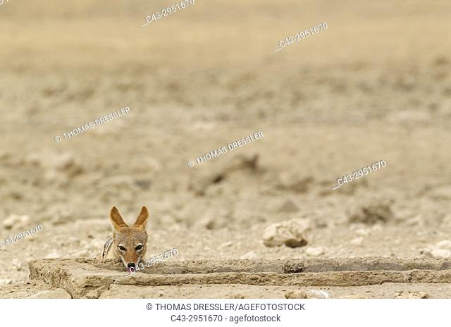 Black-backed Jackal (Canis mesomelas). Drinking at an artifical waterhole. Kalahari Desert, Kgalagadi Transfrontier Park, South Africa