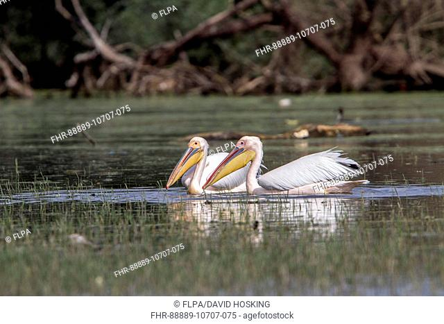 White Pelicans at Lake Kerkini Northern Greece