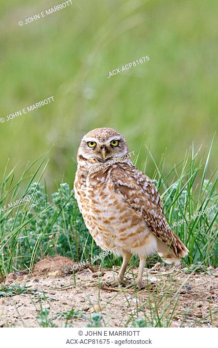 Burrowing Owl on the Canadian prairies Saskatchewan, Canada