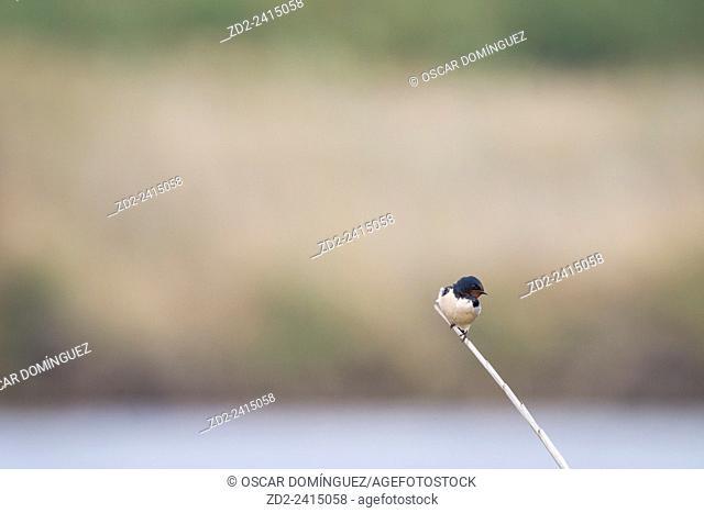 Barn Swallow (Hirundo rustica) perched on branch. Israel