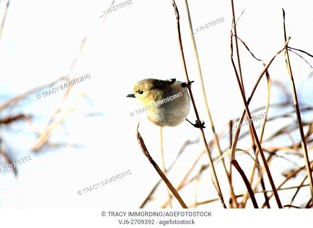 Close up of an American Goldfinch, Carduelis tristis, holding on to a tall dormant plant stalk in winter in Trevor, Wisconsin, USA