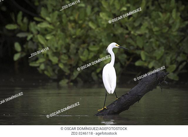 Snowy Egret (Egretta thula) perched and ready for fishing. Palo Verde National Park. Guanacaste Province. Costa Rica