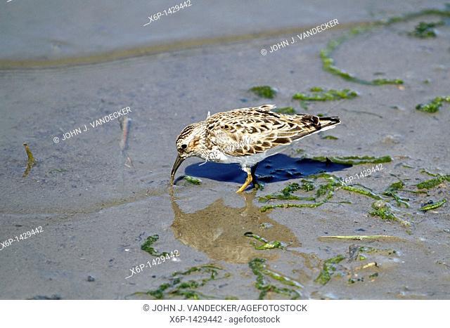 A Least Sandpiper, Caladris minutilla, foraging in the mud at the water's edge of a saltmarsh  New Jersey Meadowlands, Richard DeKorte Park, Lyndhurst