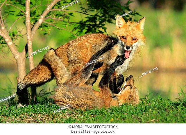 Red Fox (Vulpes vulpes), adults fighting. Alsace, France