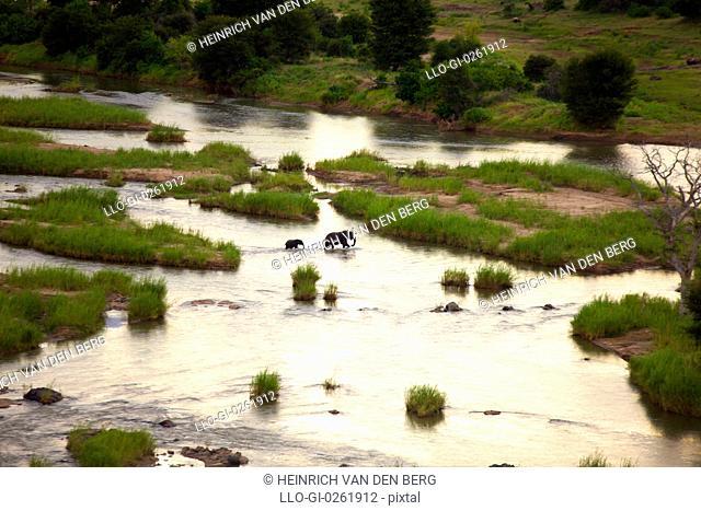 Elephant Loxodonta africana crossing Olifants river, Kruger National Park, Mpumalanga Province, South Africa
