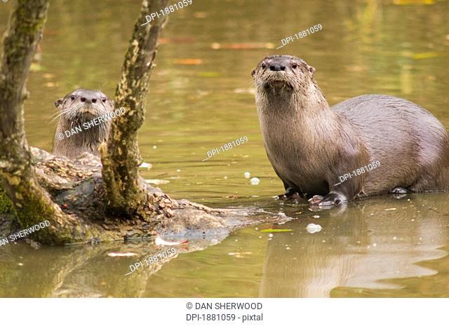 river otters at oaks bottom wildlife refuge, portland, oregon, united states of america