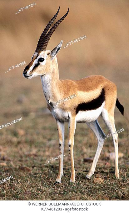 Thomson's Gazelle (Gazella thomsoni), buck. Masai Mara Game Reserve. Kenya