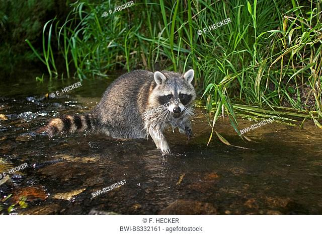 common raccoon (Procyon lotor), six month old male in the shallow water of a brook, Germany