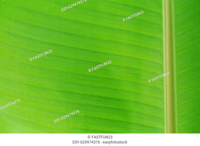 Texture of backlight fresh green Leaf background