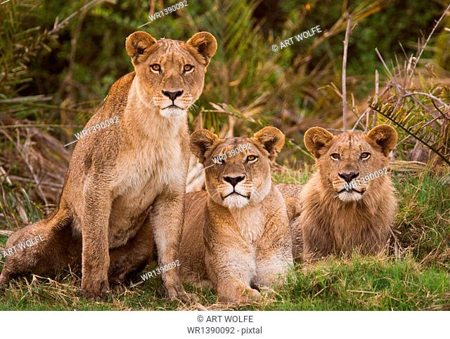 African lions, Londolozi Game Reserve, Sabi Sands, Greater Kruger National Park, South Africa