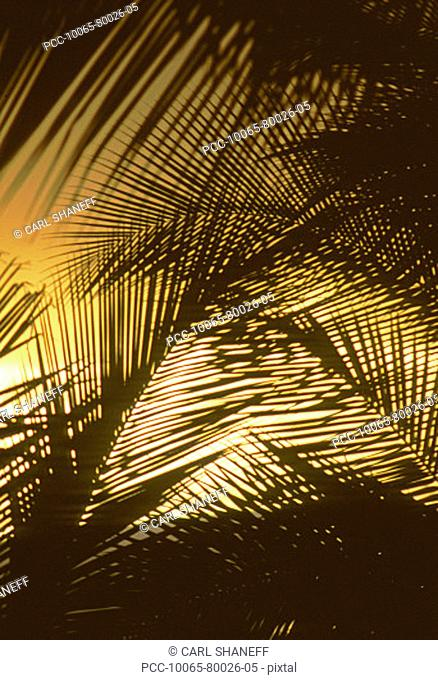 Close-up of palm fronds silhouetted by the yellow sunset sky