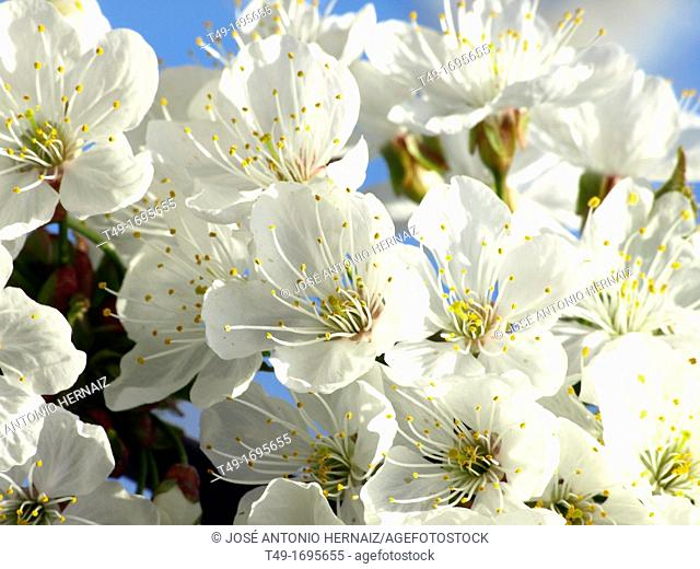 cherry tree flowers in spring