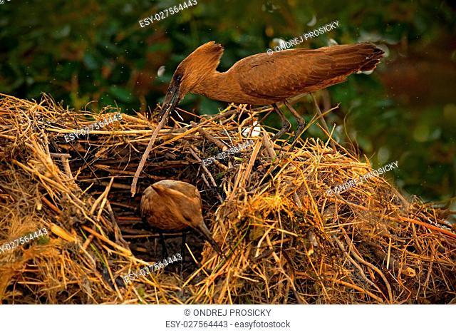 Bird Hamerkop, Scopus umbretta, in the nest. Bird building nest
