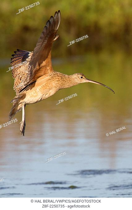 Long-Billed Curlew with wings out landing.(Numenius americanus).Back Bay Reserve,California