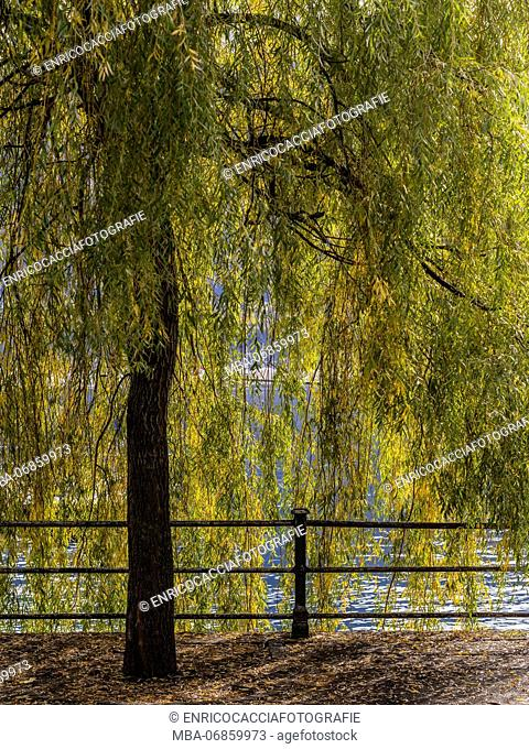 Autumnal willow tree in the back light