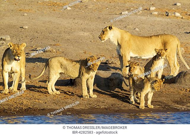 Lion (Panthera leo), two females with three cubs and one subadult male front centre at a waterhole, Etosha National Park, Namibia