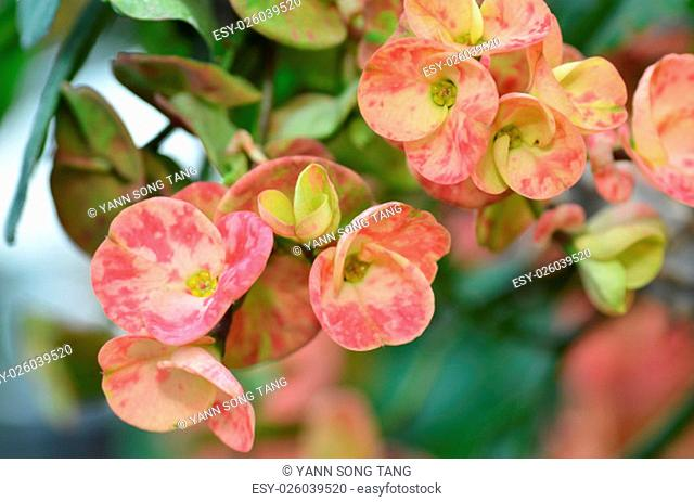 Macro of Crown of thorns flower