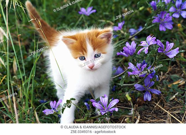 A beautiful white and red kitten is walking through a meadow with wildflowers