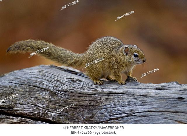 African tree squirrel (Paraxerus cepapi), Kruger National Park, South Africa