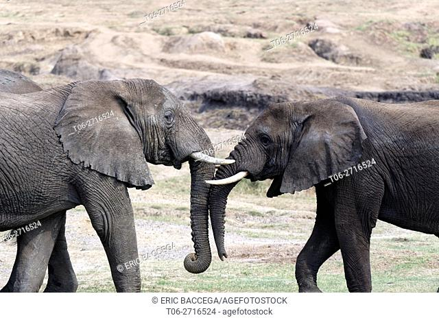 Two subadult elephants play fighting (Loxodonta africana) Queen Elizabeth National Park, Uganda, Africa