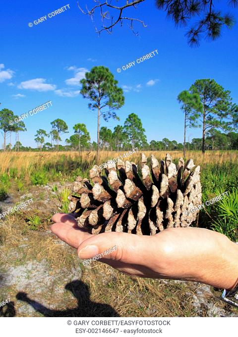 Florida pine flatwoods USA showing a slash pine cone and slash pine trees