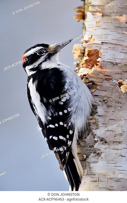 Hairy woodpecker (Picoides villosus) Male, Greater Sudbury, Ontario, Canada