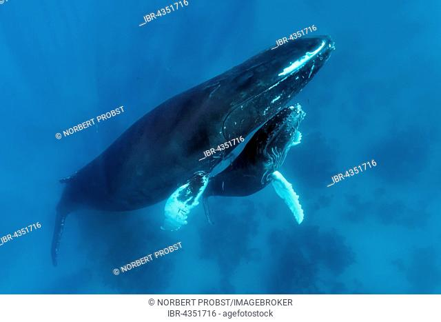 Humpback whale (Megaptera novaeangliae) with great injury to mouth, female, cow, with young, calf, over coral reef, Silver Bank