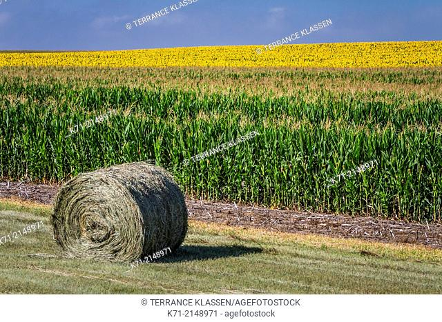 A field of blooming sunflowers and a round hay bale near Linton, North Dakota, USA